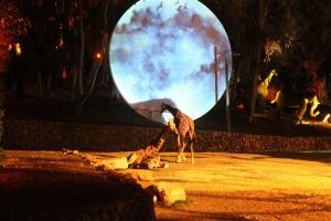 ג'ירפות באור ירח. קסם בספארי